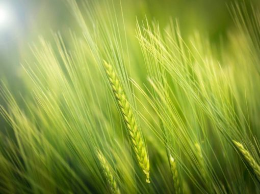 What's With Wheat? Is Wheat Bad For Your Health?